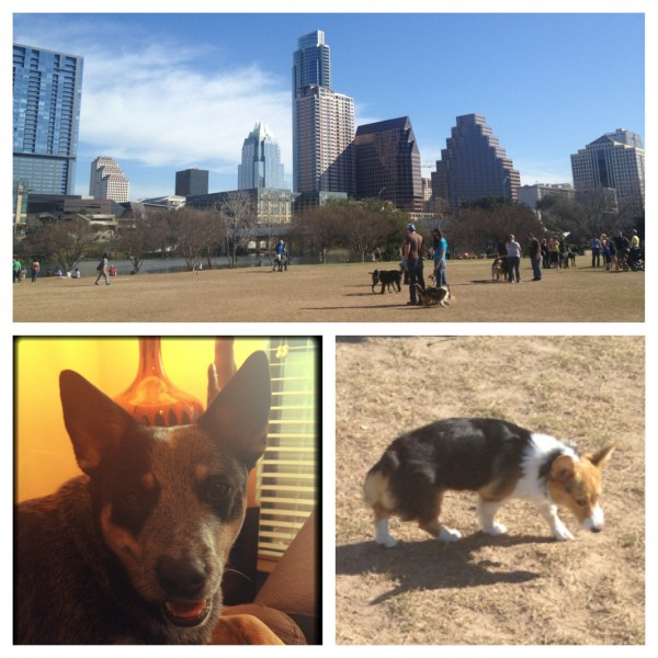 Austin skyline as seen from dog park; THAT corgi puppy named Paisley; Skydog.