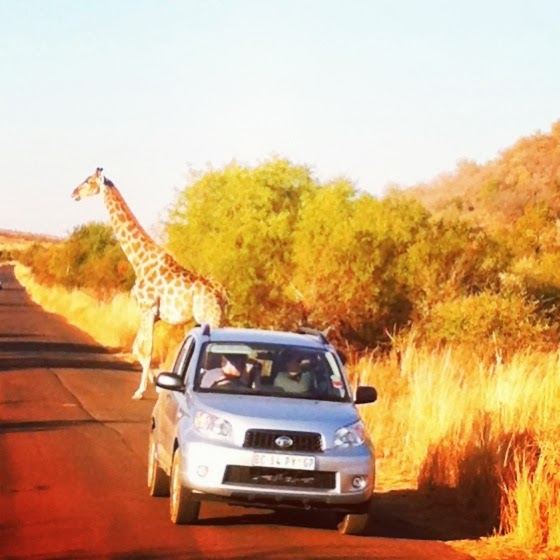 giraffe: 1, dumbass tourists: 0